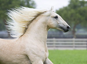 Palomino Lusiatano stallion running in paddock, Ojai, California, USA  -  Carol Walker