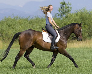 Woman riding bay thoroughbred gelding at extended trot, Longmont, Colorado, USA, model released  -  Carol Walker