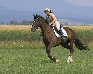 Woman cantering chestnut thoroughbred gelding, Longmont, Colorado, USA, model released  -  Carol Walker
