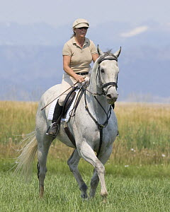Woman riding grey thoroughbred gelding, Longmont, Colorado, USA, model released  -  Carol Walker