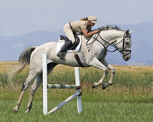 Woman jumping grey thoroughbred gelding, Longmont, Colorado, USA, model released  -  Carol Walker