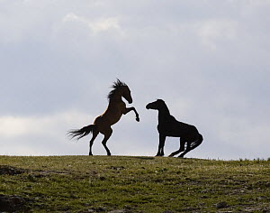 Wild horses, mustangs, in Pryor Mountains, Montana, USA - two stallions face off, one rearing  -  Carol Walker