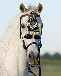 Grey half Andalusian gelding with traditional fly switch on bridle, Longmont, Colorado, USA  -  Carol Walker