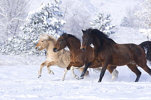 Norwegian fjord young stallion, paint gelding and bay Thoroughbred gelding running together in snow, Berthoud, Colorado, USA  -  Carol Walker