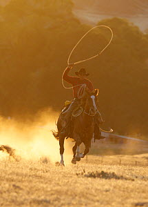 Cowboy galloping while swinging a rope lassoo at sunset, Flitner Ranch, Shell, Wyoming, USA, model released  -  Carol Walker
