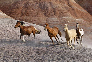 Two paint horses, a palomino and a sorrel quarter horse running, Flitner Ranch, Shell, Wyoming, USA  -  Carol Walker