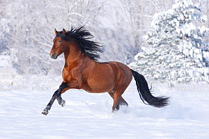 RF- Bay Andalusian stallion running in the snow. Berthoud, Colorado, USA. (This image may be licensed either as rights managed or royalty free.)  -  Carol Walker