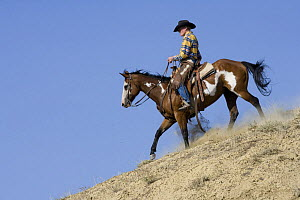 Cowboy riding paint horse gelding down hill, Flitner Ranch, Shell, Wyoming, USA, model released  -  Carol Walker