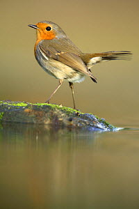 Robin (Erithacus rubecula) on mossy rock in pond, Pla de Xirau, Alicante, Spain - Jose B. Ruiz