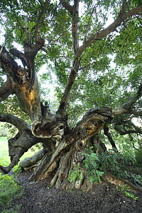 Ancient Carob tree (Ceratonia siliqua), Alfaz del Pi, Alicante, Spain - Jose B. Ruiz