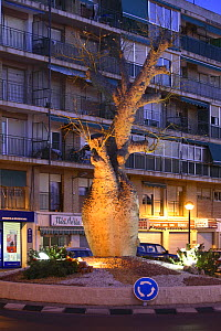 Silk Flower tree (Chorisia spectabilis) in centre of town roundabout, San Juan, Alicante, Spain - Jose B. Ruiz