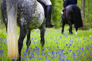 Horse-riding through bluebell wood, Brecon Beacons National Park, Powys, Wales, UK, Model released - Nick Turner