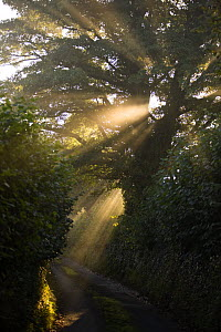 Rays of sunlight shining through trees to country road at Edge, near Painswick, Cotswolds, UK  -  Nick Turner