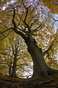 Looking up at autumnal Beech Woodland (Fagus sylvatica), Gloucestershire, UK  -  Nick Turner