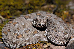 Southern adder {Bitis armata} juvenile male, DeHoop Nature Reserve, Western Cape, South Africa  -  Tony Phelps