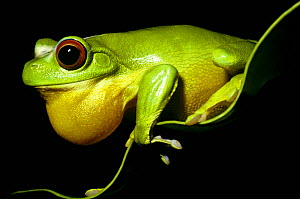 Red-eyed tree frog (Litoria chloris) male with inflated throat sac, calling at night. Queensland, Australia  -  PREMAPHOTOS