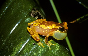 Variegated tree frog (Hyla ebraccata) male with inflated throat sac, calling at night. Costa Rica  -  PREMAPHOTOS