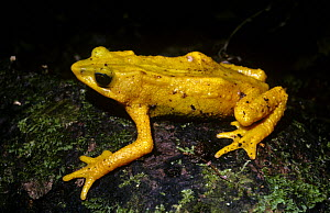 Yellow harlequin frog (Atelopus oxyrhynchus), a diurnal species in the rainforests of Venezuela, Critically endangered species  -  PREMAPHOTOS