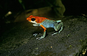 Granular / Red and green poison-arrow frog (Dendrobates granuliferus) in the rainforest of Costa Rica  -  PREMAPHOTOS