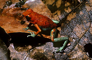 Granular / Red and green poison-arrow frog (Dendrobates granuliferus) amongst leaf litter in the rainforest of Costa Rica  -  PREMAPHOTOS