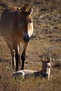 Przewalski's Horse (Equus ferus przewalski) adult and foal in Kalamaili National Park, Xinjiang Province, North-west China. The horses have been re-released after a captive breeding programme. Septemb...  -  George Chan