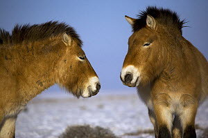 Two Przewalski's Horses (Equus ferus przewalski) in winter. Kalamaili National Park, Xinjiang Province, North-west China. The horses have been re-released after a captive breeding programme, but spend...  -  George Chan