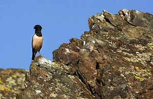 """Rose coloured Starling (Sturnus roseus) on a rock, Xinjiang Province, North-west China. June 2006, BBC """"Wild China"""" series  -  George Chan"""