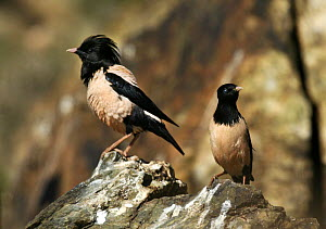 """Two Rose coloured Starlings (Sturnus roseus) on a rock, Xinjiang Province, North-west China. June 2006, BBC """"Wild China"""" series  -  George Chan"""