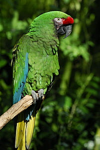 Military macaw (Ara militaris) perched on branch, tropical forest habitat, captive, Central America  -  Jouan & Rius