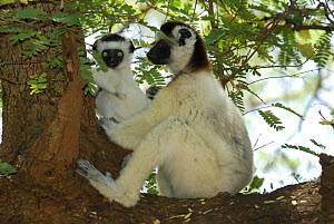 Female Verreaux's Sifaka (Propithecus verreauxi) supporting young on tree, dry forest of Berenty reserve, South Madagascar  -  Jouan & Rius