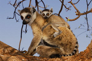 Female Ring-tailed lemur (Lemur catta) carrying young on back, dry forest of Berenty reserve, South Madagascar  -  Jouan & Rius