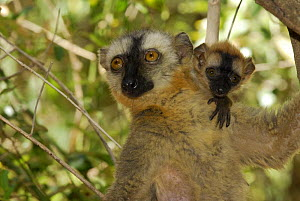Hybrid Lemur female and young (Eulemur fulvus collaris x Eulemur fulvus rufus), dry forest of Berenty reserve, Madagascar South - Jouan & Rius