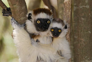 Female Verreaux's Sifaka (Propithecus verreauxi) and young, dry forest of Berenty reserve, South Madagascar  -  Jouan & Rius