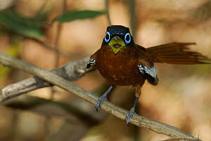 Male Madagascar paradise flycatcher (Terpsiphone mutata) singing, dry forest of Berenty reserve, Madagascar South  -  Jouan & Rius