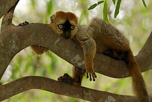 Hybrid Lemur male (Eulemur fulvus collaris x Eulemur fulvus rufus) lying on branch, dry forest of Berenty reserve, Madagascar South - Jouan & Rius