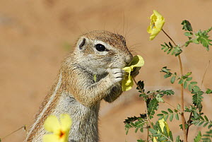 Cape ground squirrel (Xerus inauris) feeding on flowers during the rainy season, Kgalagadi Transfrontier Park, Kalahari desert, South Africa  -  Jouan & Rius