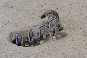 Cape ground squirrel (Xerus inauris) family at burrow entrance, Kgalagadi Transfrontier Park, Kalahari desert, South Africa  -  Jouan & Rius