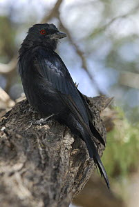 Fork tailed Drongo (Dicrurus adsimilis) perched on tree stump, Etosha NP, Namibia  -  Jouan & Rius