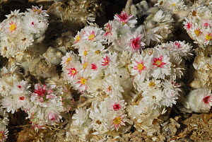 South African Edelweiss blooming after heavy rain (Helichrysum roseo-niveum), Namib desert, Namibia  -  Jouan & Rius