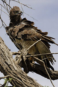 Martial Eagle (Polemaetus bellicosus) perched in tree with feathers ruffled, Kgalagadi Transfrontier Park, Kalahari desert, South Africa  -  Jouan & Rius