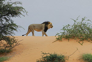 African lion (Panthera leo) male with black mane in dunes, Kgalagadi Transfrontier Park, Kalahari desert, South Africa  -  Jouan & Rius