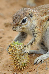 Cape ground squirrel (Xerus inauris) feeding on Gemsbok cucumber, Kgalagadi Transfrontier Park, Kalahari desert, South Africa - Jouan & Rius