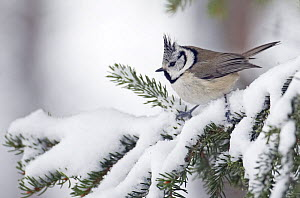 Crested Tit (Lophophanes cristatus) in winter, Finland, October - Markus Varesvuo