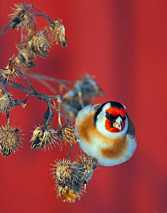 Goldfinch (Carduelis carduelis) on seedheads, Helsinki Finland December. Magic Moments book plate.  -  Markus Varesvuo