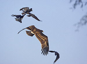Greater Spotted Eagle (Aquila clanga) being mobbed by Crows, Sultanate of Oman, November - Markus Varesvuo
