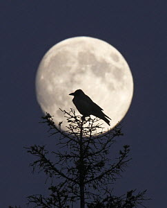 Hooded Crow (Corvus cornix) silhouetted against the full moon, Helsinki, Finland, December  -  Markus Varesvuo