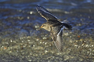Purple Sandpiper (Calidris maritima) flying over beach, Norway, March  -  Markus Varesvuo