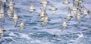 Purple Sandpiper (Calidris maritima) flock flying over sea, Norway May  -  Markus Varesvuo