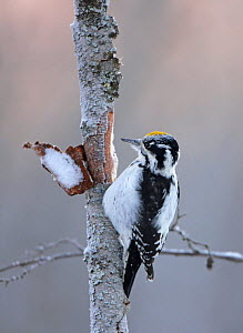 Three-toed Woodpecker (Picoides tridactylus) feeding under bark on tree trunk, Oulunsalo Finland - Markus Varesvuo