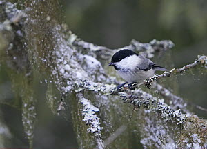 Willow Tit (Poecile montanus) perched in winter, Haukipudas, Finland, October  -  Markus Varesvuo